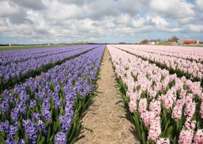 twee kleuren hyacinten